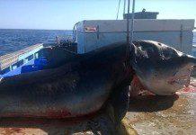 Przerażające zdjęcia martwego rekina